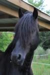 Pferd Farduw